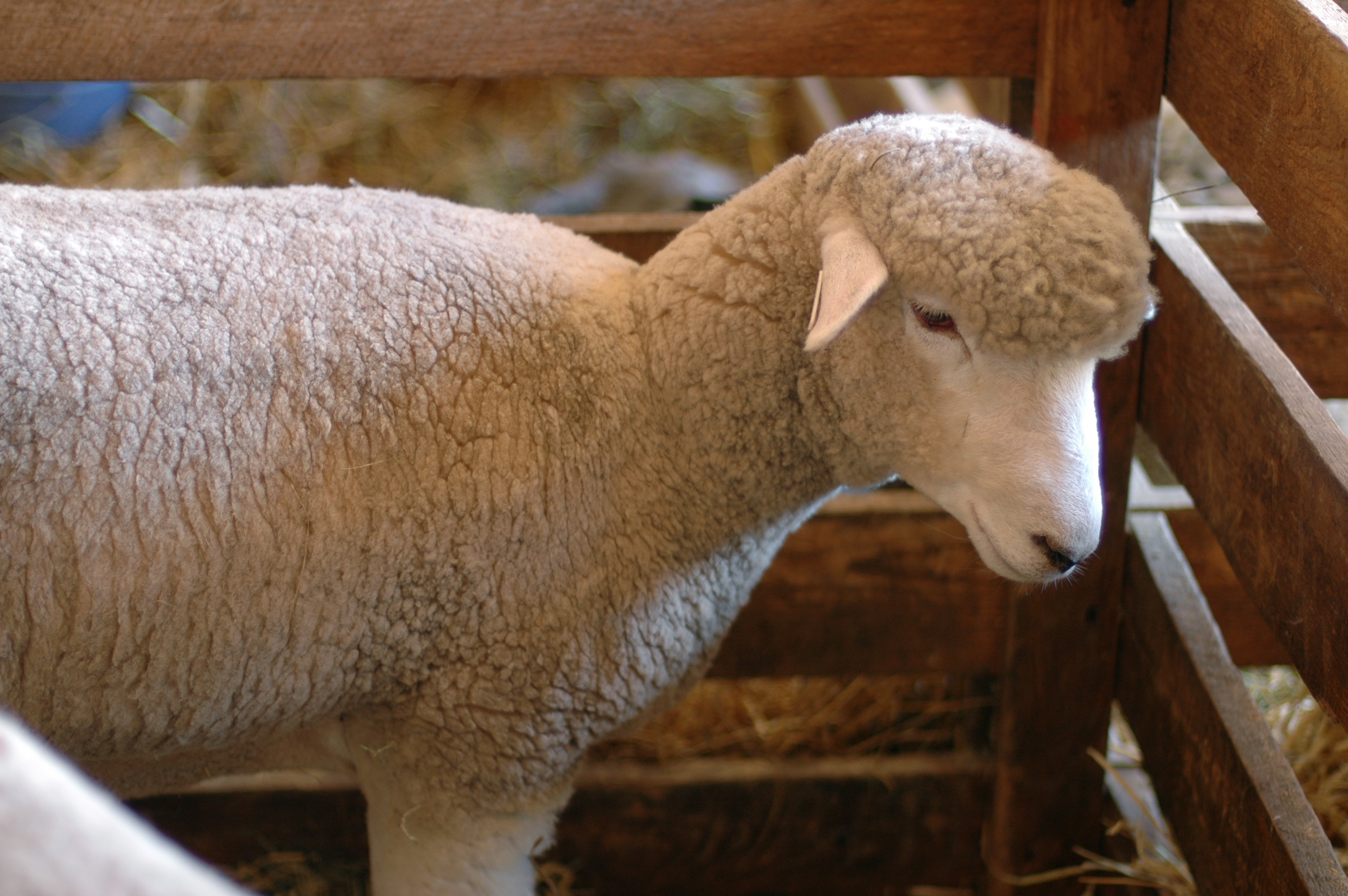 How do you raise healthy sheep?